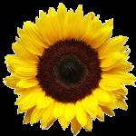 sunflower_large